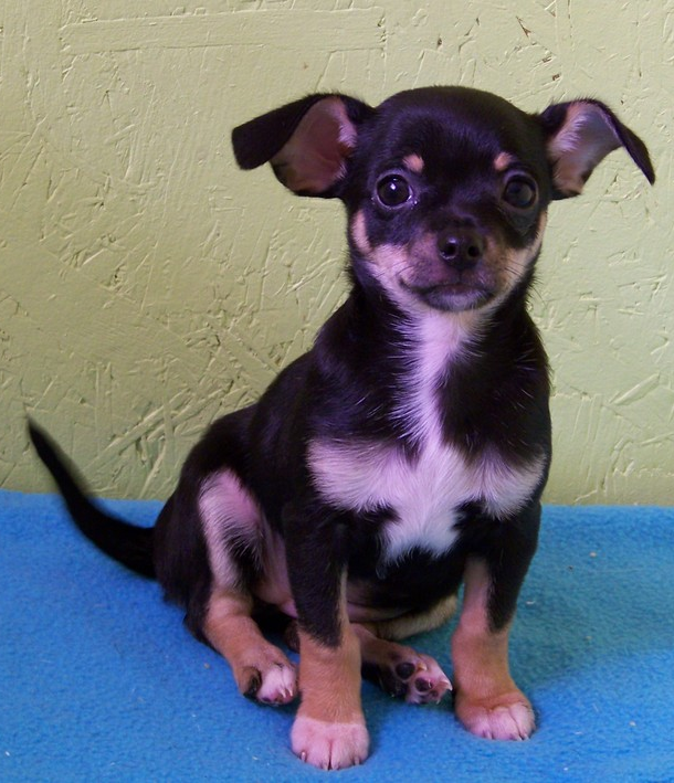 tri color chihuahua past puppies 7786